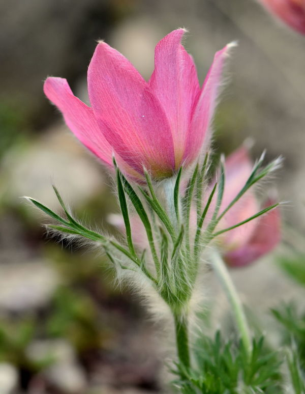 Beauty In Nature Close-up Flower Flower Head Fragility Freshness Garden Green Color Growth Nature Outdoors Pink Color Pink Pulsa Pink Pulsatilla Plant Pulsatilla Spring Flowers