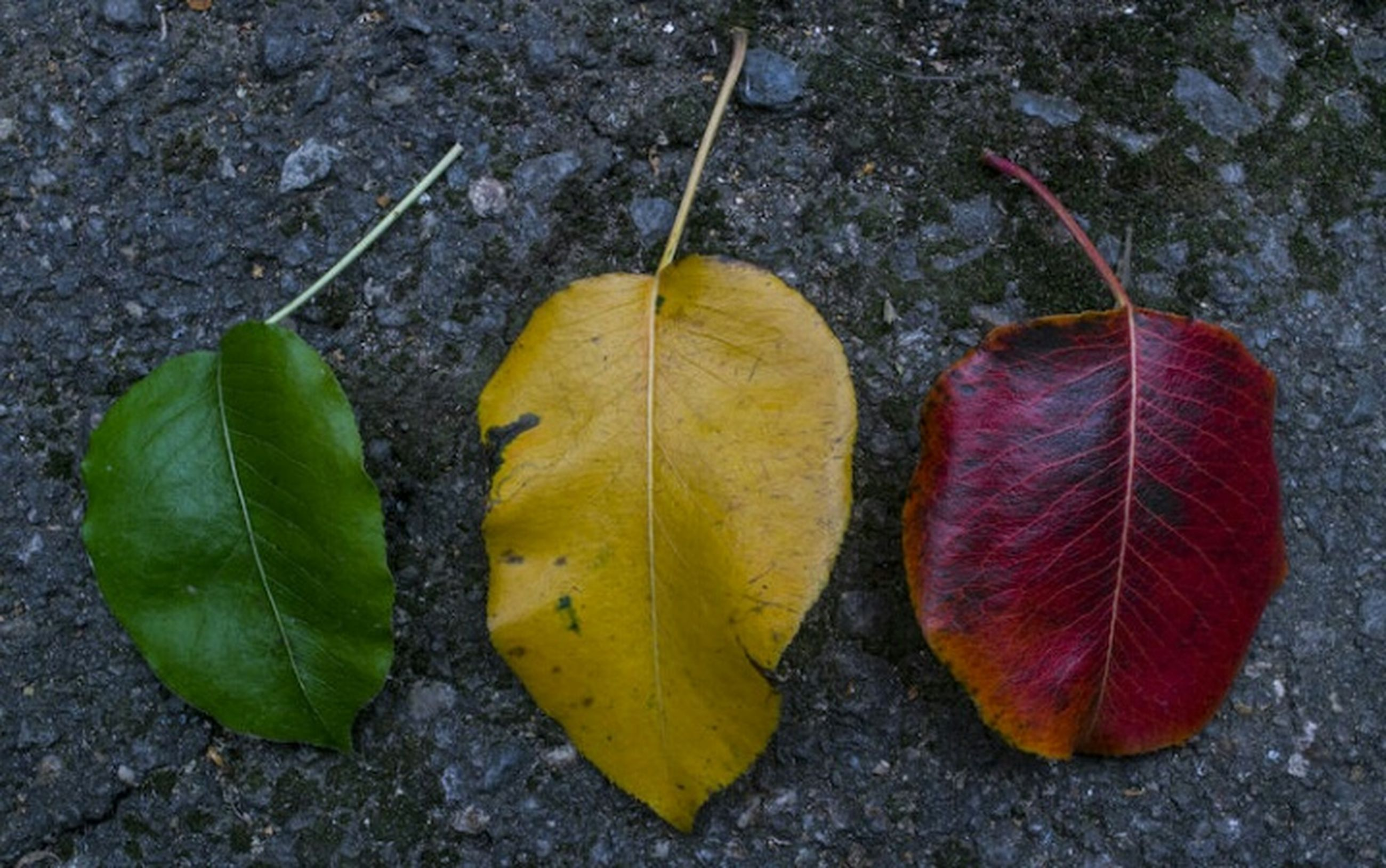 autumn, change, leaf, season, leaf vein, close-up, dry, natural pattern, natural condition, fragility, yellow, vibrant color, ground, red, maple leaf, leaves, nature, group of objects, day, botany, green color, outdoors, tranquility, footpath, no people