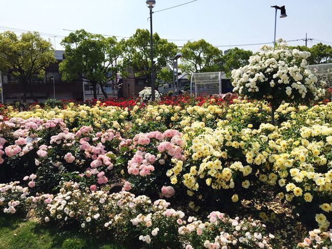 Rosegarden Travel Photography Fukuyama-city Flowers Beautiful Japanese  Taking Pictures Japan Traveling
