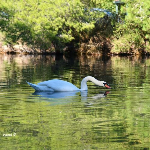 Water Lake Bird Reflection Nature Animal Wildlife Beauty In Nature Animals In The Wild Nature_collection Nature Photography Naturephotography Naturr_collection Nature Reserve Greek Islands Summer2017🌞 Nikonphotography Swimming Animal Themes No People EyeEmNewHere Love To Take Photos ❤ EyeEm Best Shots Photooftheday Green Color