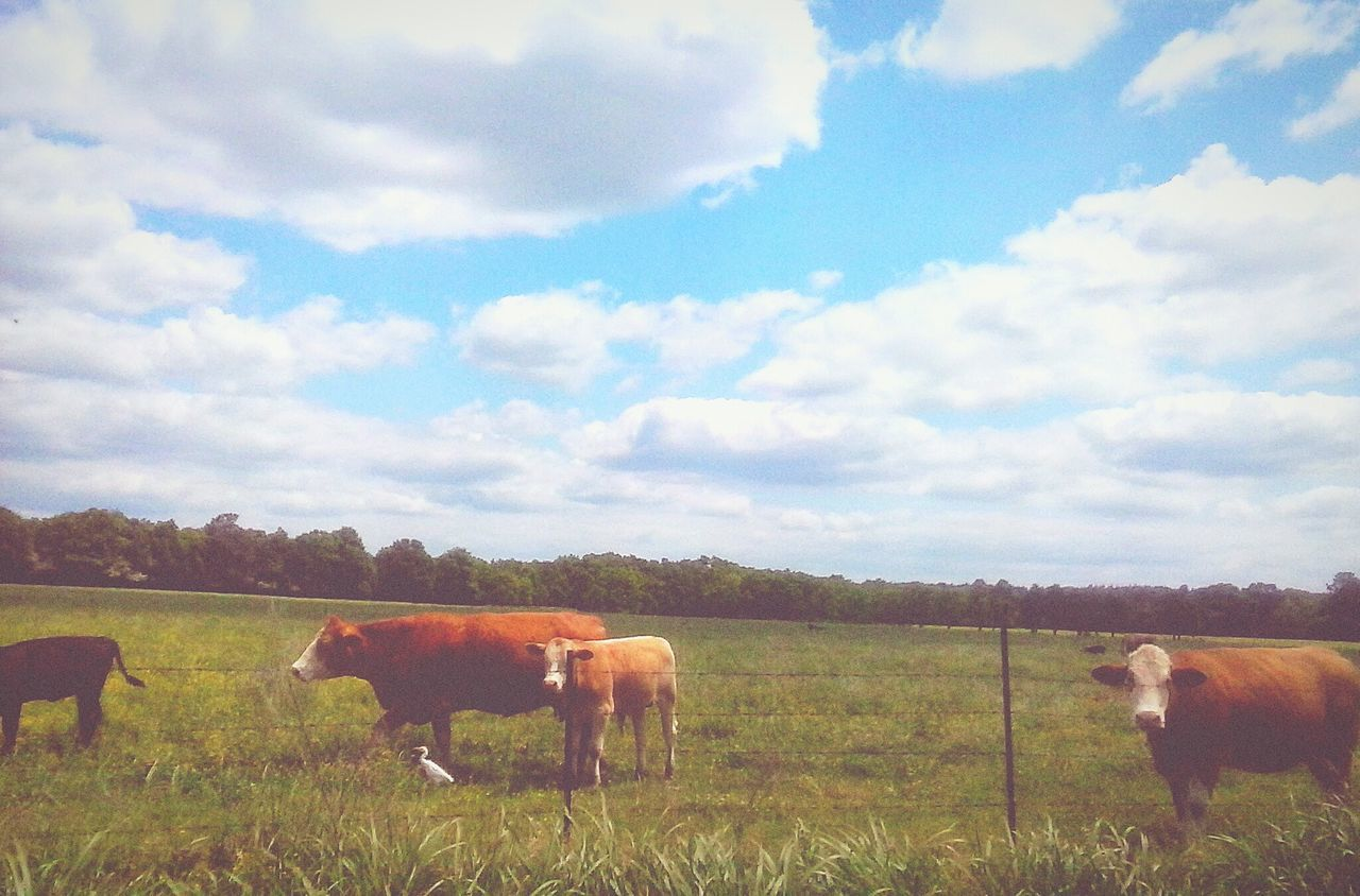 Livestock Landscape Grass Cloud - Sky Grazing Pasture Outdoors Nature Sky Cows In The Feilds Cows Grazing