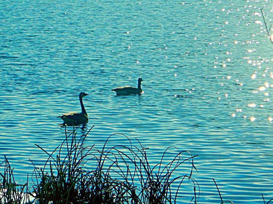Where's da Beach ? Birds Geese Canadian Honker Lake Lake Winona The Driftless Region Floating Drifting