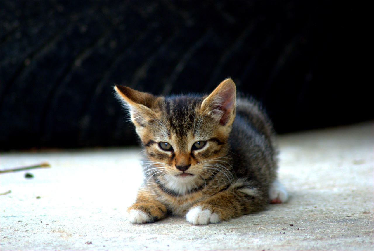 Beautiful stock photos of baby katzen,  Day,  Domestic Animals,  Domestic Cat,  Footpath