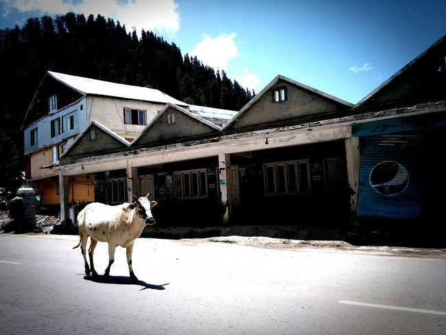 Taking Photos Random Clicks Cow Hillstation Learning
