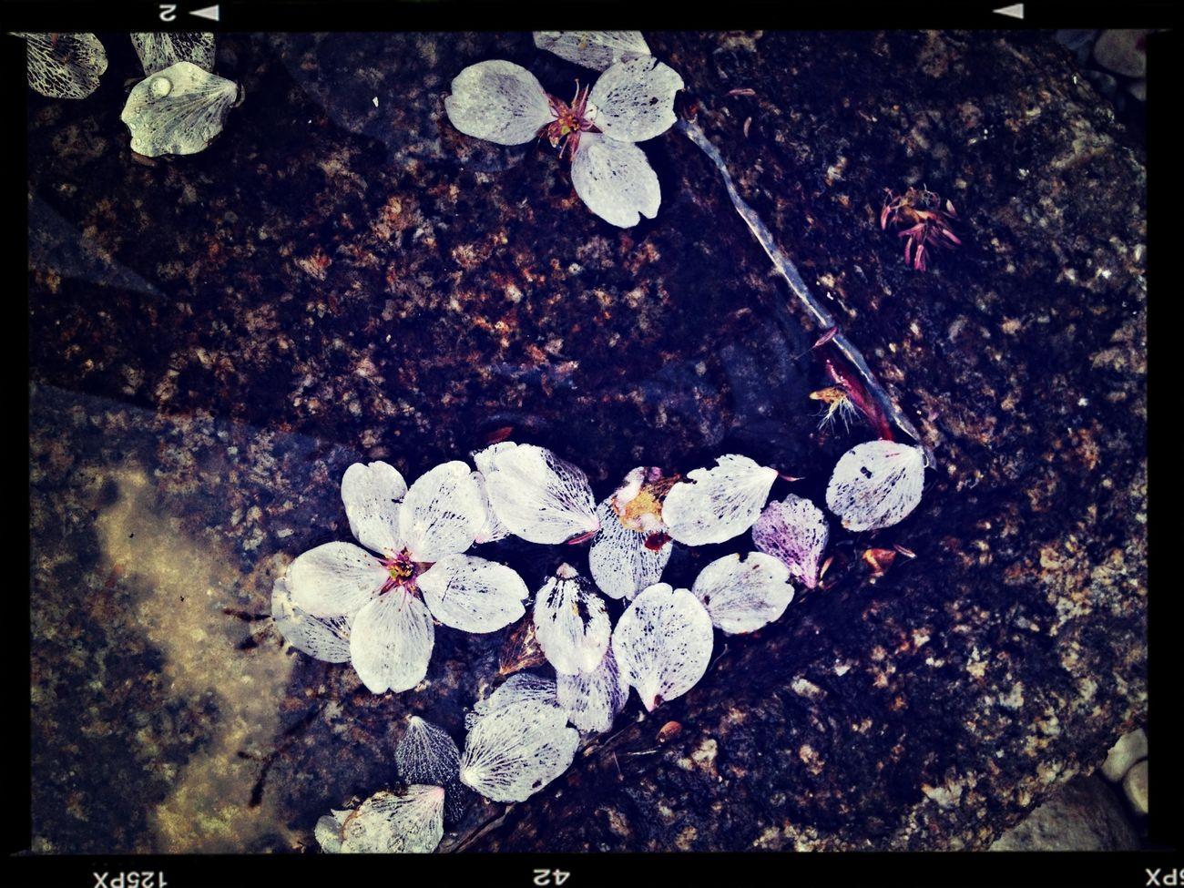 散り際の余韻 櫻 淡い花びら