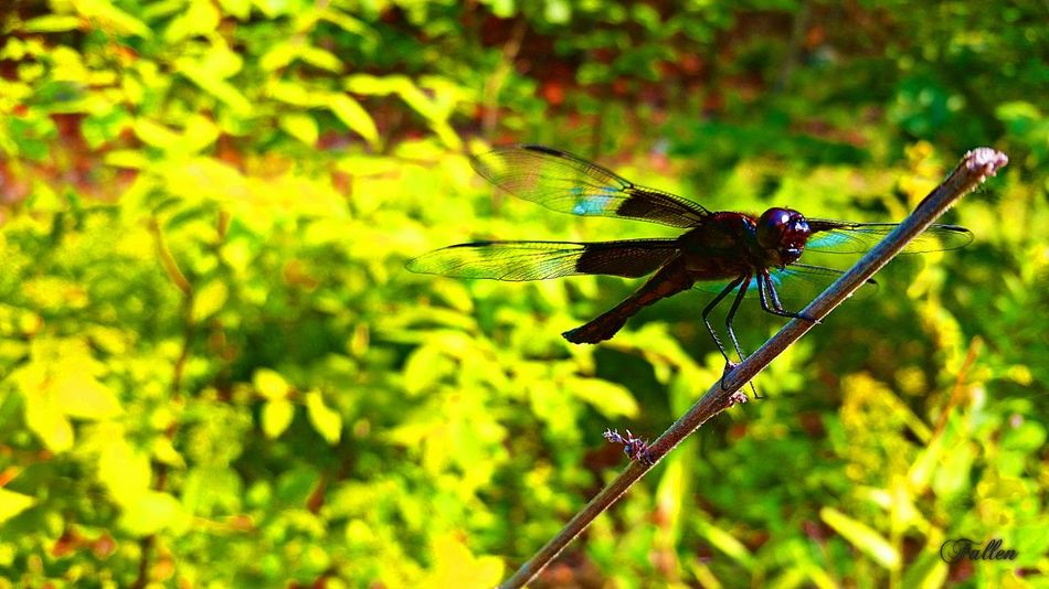 Taken with:SGS5 size:10x18 Adventure Insects  Hiking Summer Dragonfly Outdoors Nature Photography Bluehills Check This Out