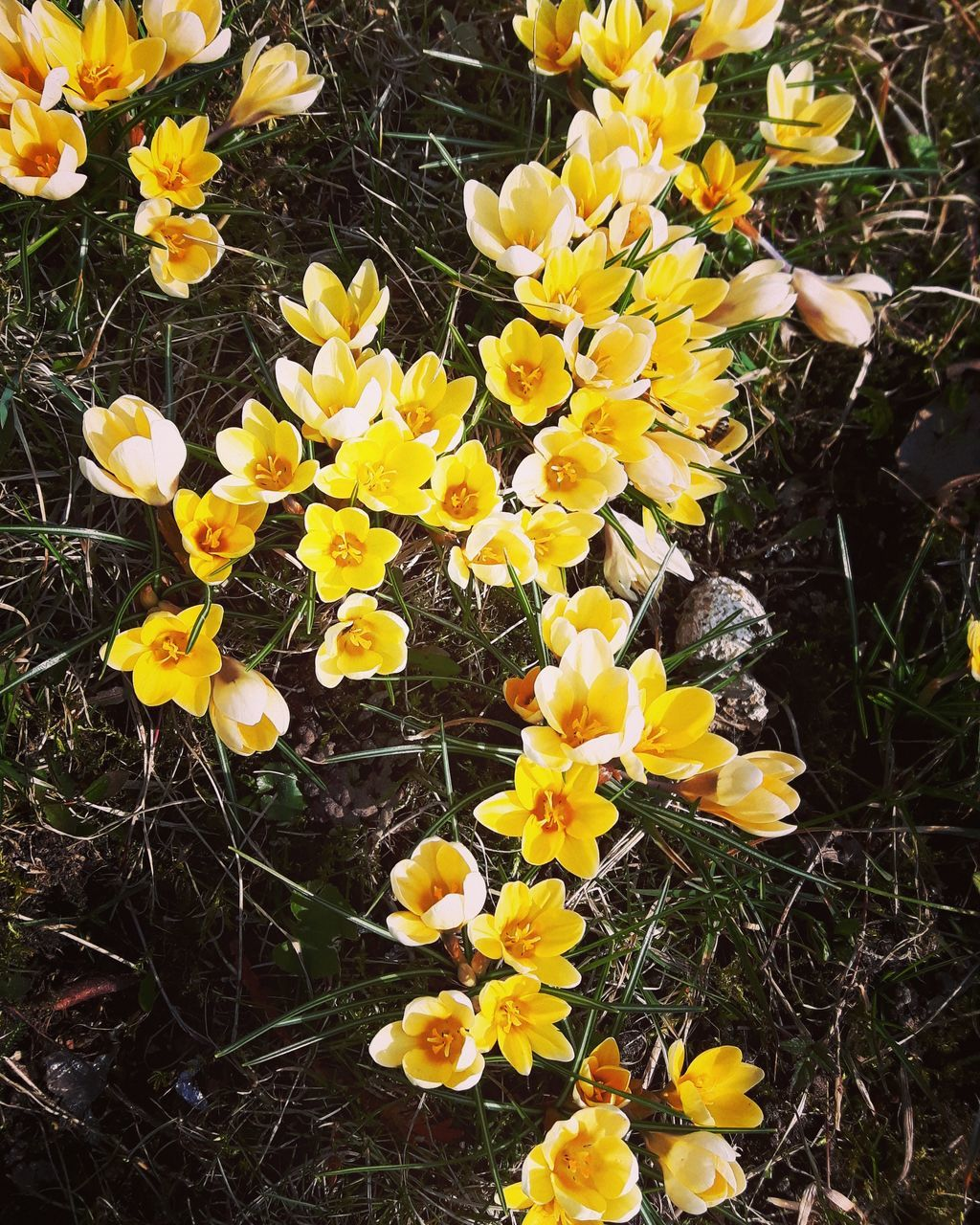 flower, yellow, fragility, growth, petal, plant, nature, freshness, beauty in nature, flower head, outdoors, blooming, field, day, no people, close-up, crocus