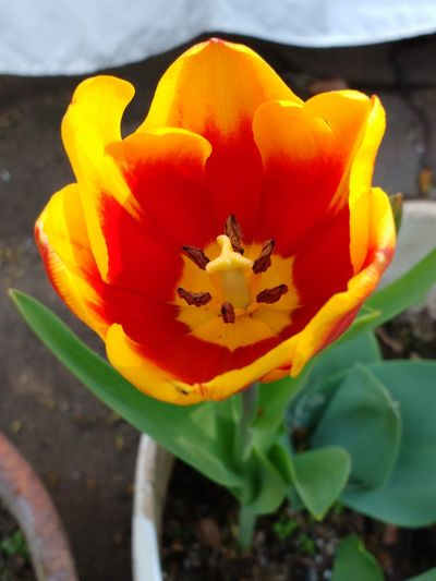 Tulipán Yellow Red