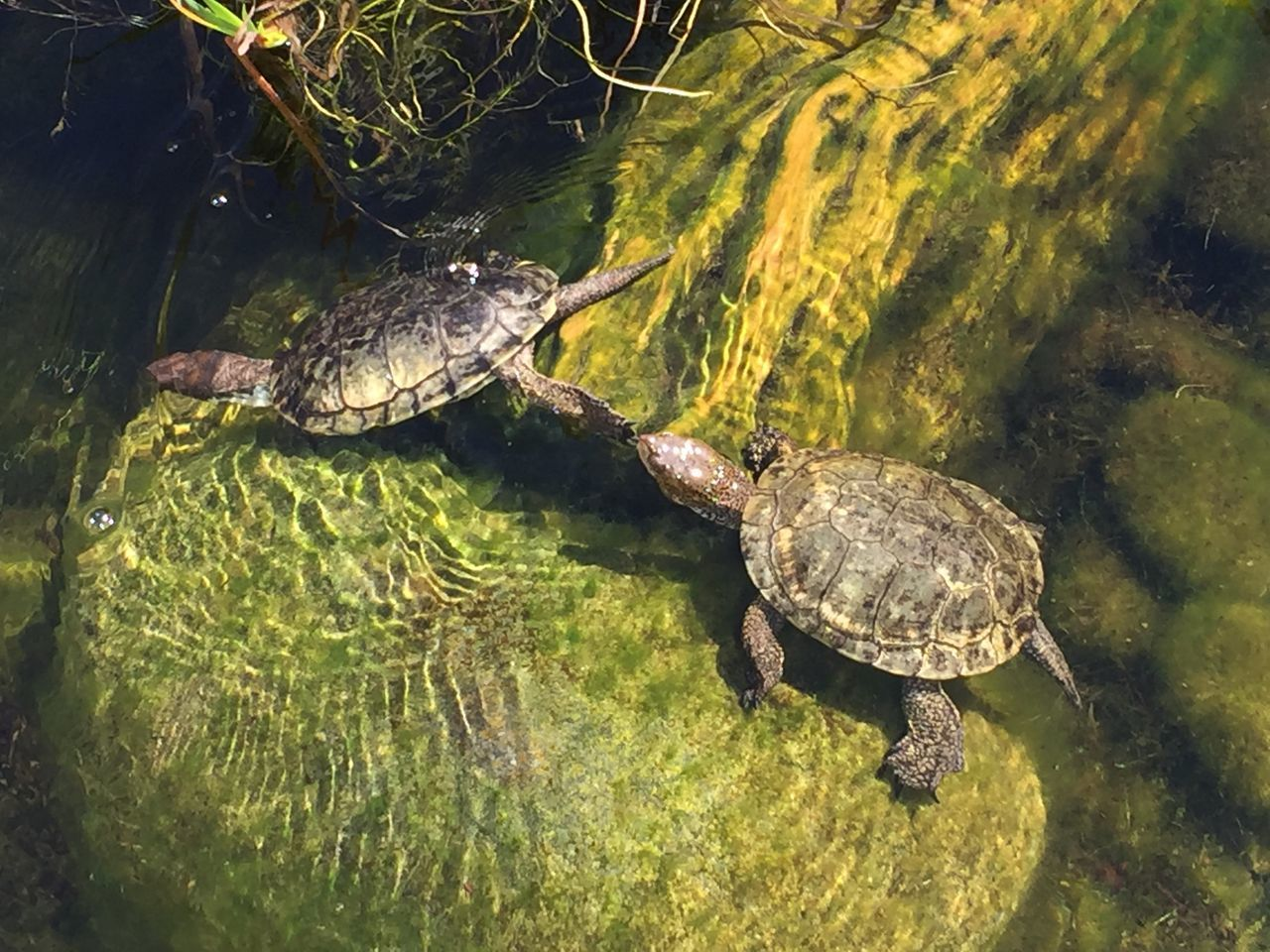 reptile, turtle, one animal, animals in the wild, water, animal themes, swimming, sea turtle, high angle view, animal wildlife, nature, sea life, tortoise, day, waterfront, no people, tortoise shell, outdoors, alligator, undersea
