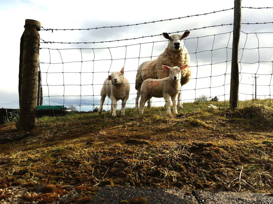 Outdoors Sheep Farm Lambs And Sheep Springtime Livestock Animal Themes Day Farm Life Farm Animals Baby Sheep