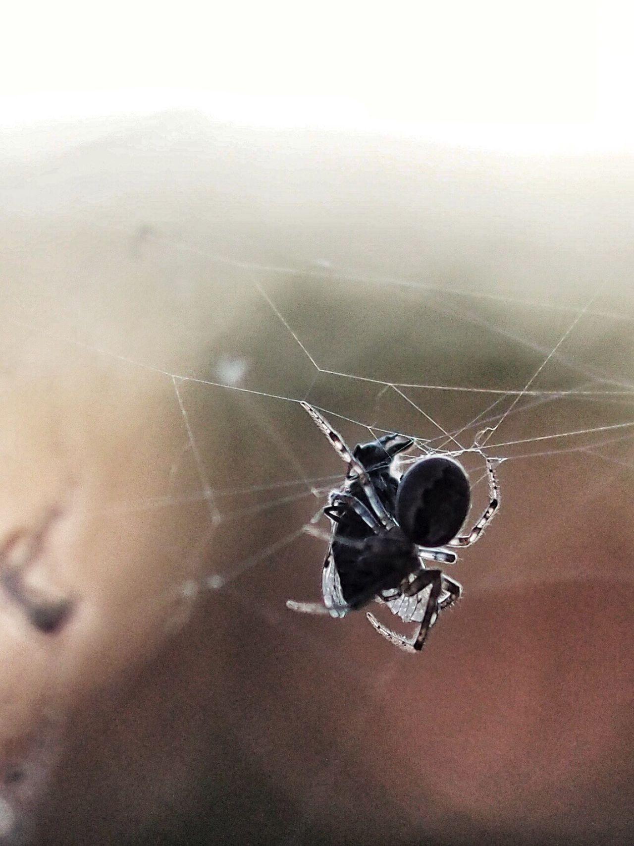 Spider Web Spider M.Zuiko 45mm 1:1,8