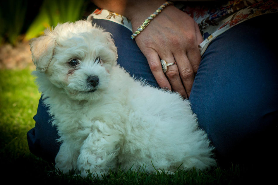 Adult Adults Only Animal Animal Body Part Animal Themes Bichonfrise Close-up Day Dog Domestic Animals Human Body Part Human Hand Low Section Mammal One Animal One Person One Woman Only Only Women Outdoors People Pet Owner Pets Portrait Puppy