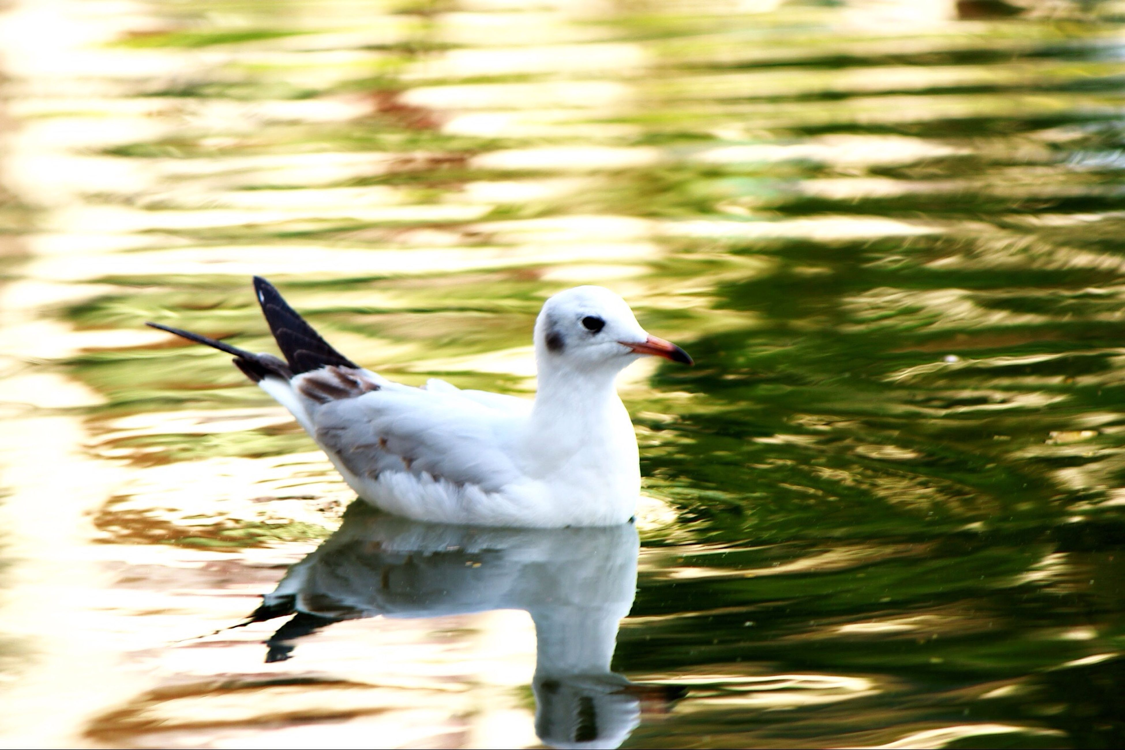 bird, animal themes, animals in the wild, one animal, wildlife, water, seagull, white color, focus on foreground, spread wings, nature, flying, waterfront, close-up, lake, beak, outdoors, no people, day, side view