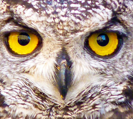 Alertness Animal Animal Eye Animal Head  Animal Themes Bird Of Prey Buho Gufo Miradas Nature No People Portrait Rapaz