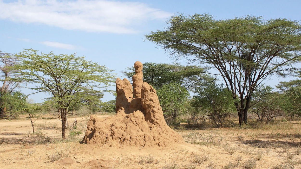 Termite nest in the south of Ethiopia, Africa Africa Ethiopia Fauna Insect Landscape Nature Outdoors Termitarium Termite Nests Termites Travel Wildlife