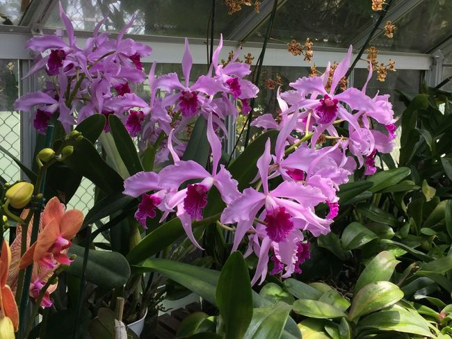 Lots of blooms Nature_collection Garden Photography June 2016 Miracle Of Nature Greenhouse Plants Purple Flower Lavenderflower Orchid Green Leaves. Eye Em Photography Eye Em Photo September 2016 Colour Of Life