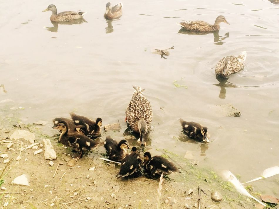 the ducklings at CorkaghPark enjoying a bitta lunch with mama duck 🐥😄🍞 Summer2015☀️☀️ Wildlife🐣 Clondalkin Dublin