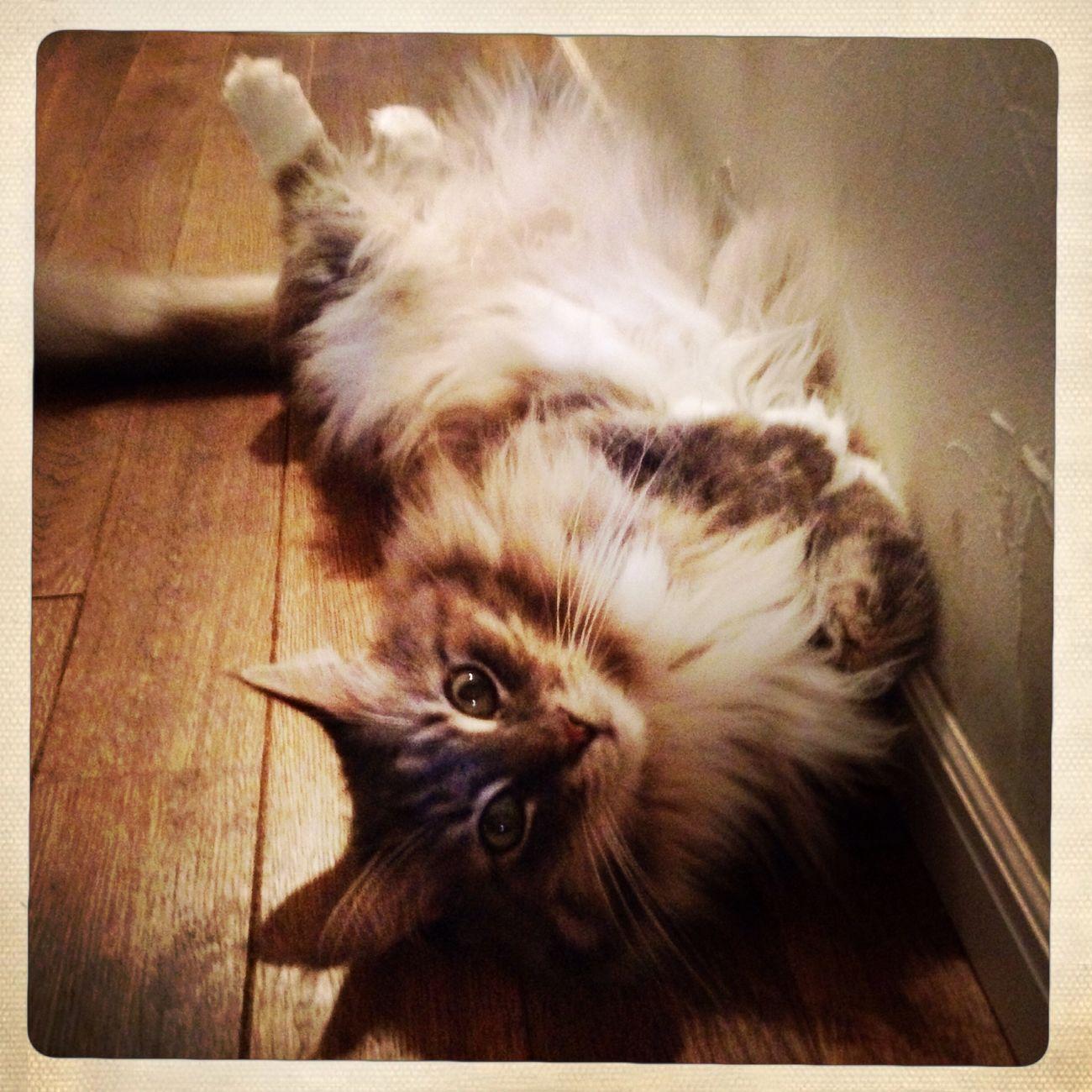 Cat Main Kuhn Pretty ねこ くぅ 可愛い
