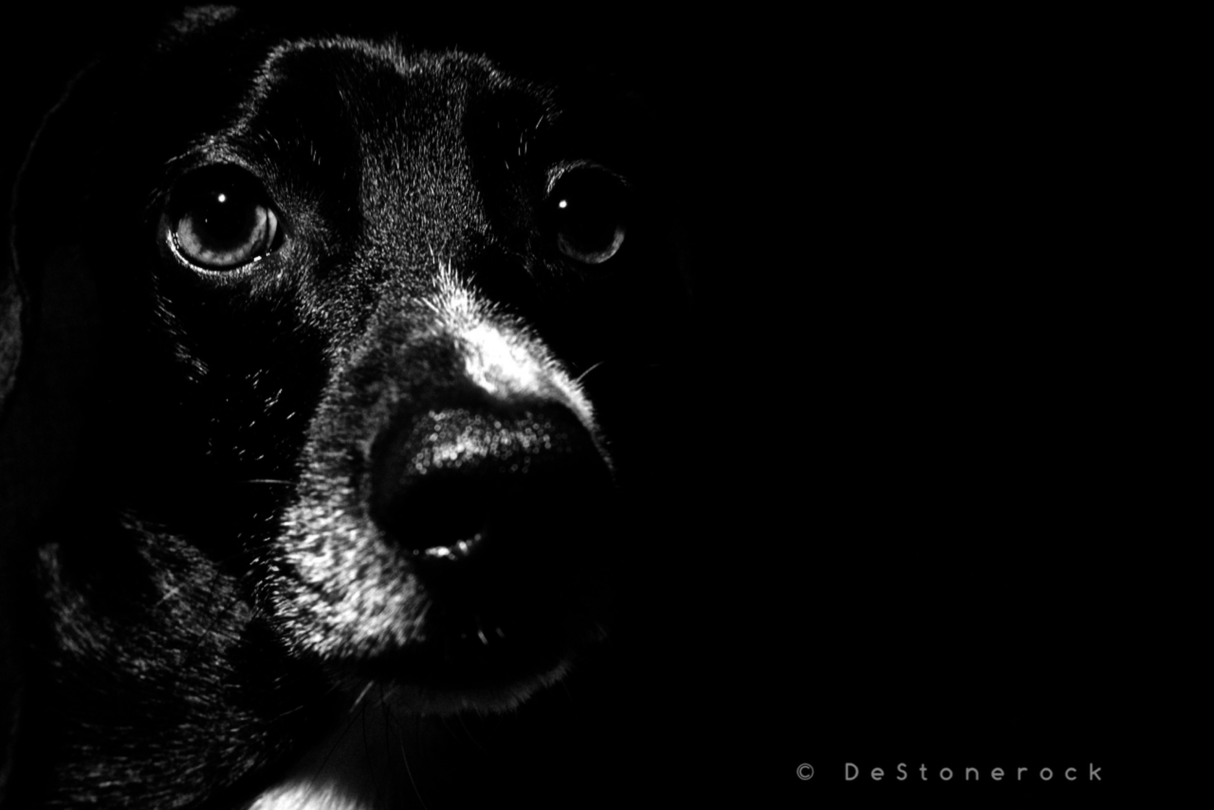 pets, one animal, animal themes, domestic animals, mammal, dog, animal head, close-up, portrait, indoors, looking at camera, animal body part, animal eye, black color, snout, no people, alertness, front view, staring