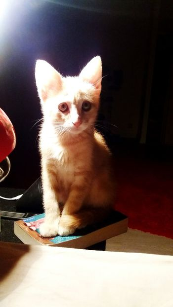 Pets Domestic Animals One Animal Domestic Cat Animal Themes Mammal Cat Looking At Camera Portrait Indoors  Whisker Feline Sitting Flooring Front View Animal Head  No People Zoology Whiskers Inthelight