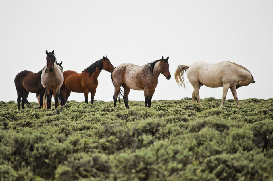 Wild mustangs grazing in the wilderness Blm Land Grazing Horse Horse Landscape Mustangs Nature No People Outdoors Wild Mustangs Wyoming