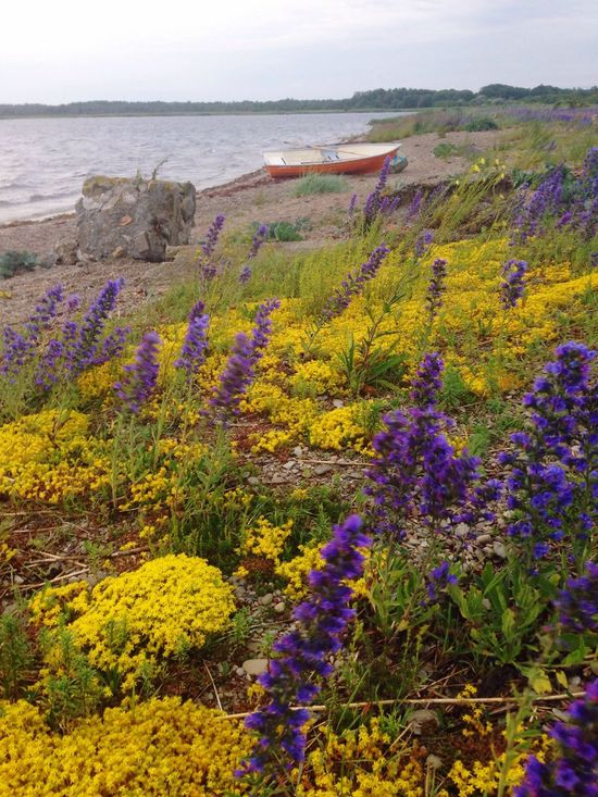 Purple and yellow flowers by the sea and a lonely boatSea aPlants sFlowers sYellow Flower rPurpule Flowers s Orange Color Boat Sõrve Peninsula Summer Beauty In Nature Nature Tranquility No People Outdoors Water Paint The Town Yellow Paint The Town Yellow Beach Shore Landscape