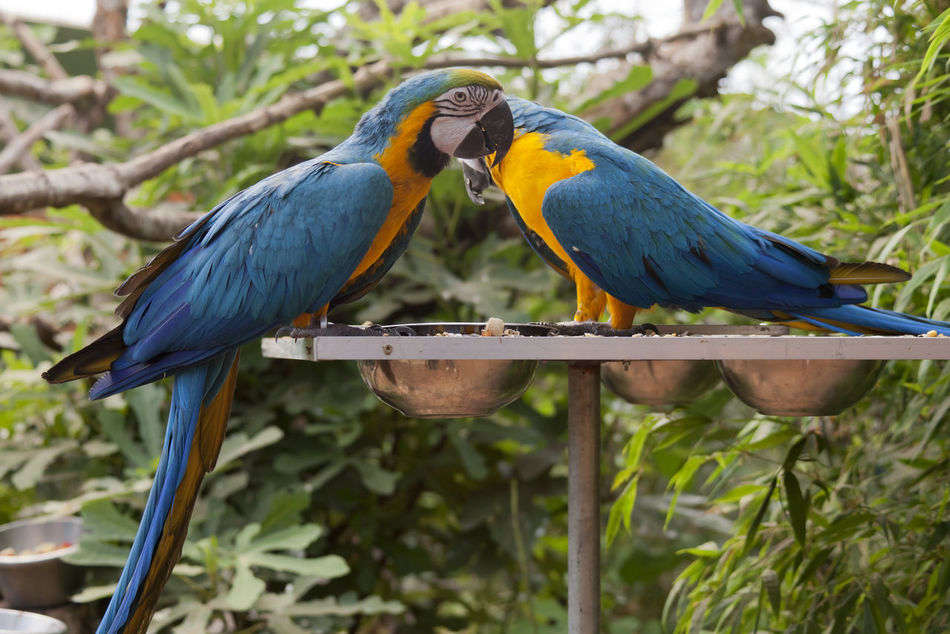 Blue and yellow Macaw pair perching on feeder - Ara ararauna Animal Animal Themes Ara Beauty In Nature Bird Blue Blue And Yellow Macaw Close-up Feeder Feeding  Gold And Blue Macaw Love Macaw Macaw Parrot Macaws Nature Outdoors Pair Parrot Parrots Parrots Of Eyeem Perching Pets Two Yellow