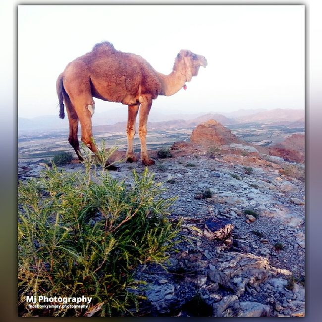 Animal Themes Side View Domestic Animals Grazing Zoology Animal Nature Livestock Full Length Auto Post Production Filter Herbivorous Grass Hoofed Mammal Vertebrate Standing One Animal Transfer Print Camels Camel Riding Camel Ride Camel Camel First Eyeem Photo