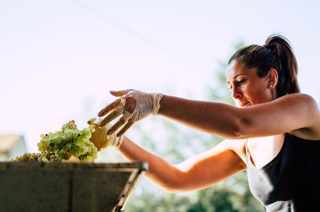 Vendemmia Wine Harvest Harvesting Time