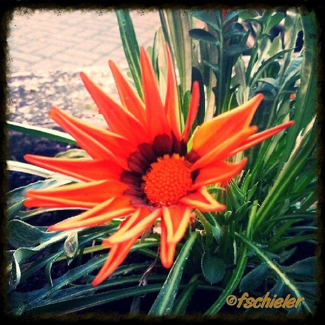 Blume Roteblume Rot Liebe