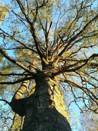 Early autumn Tree Nature No People Sky Outdoors Branch Day Beauty In Nature Close-up Blue Sky Autumn Birchtree
