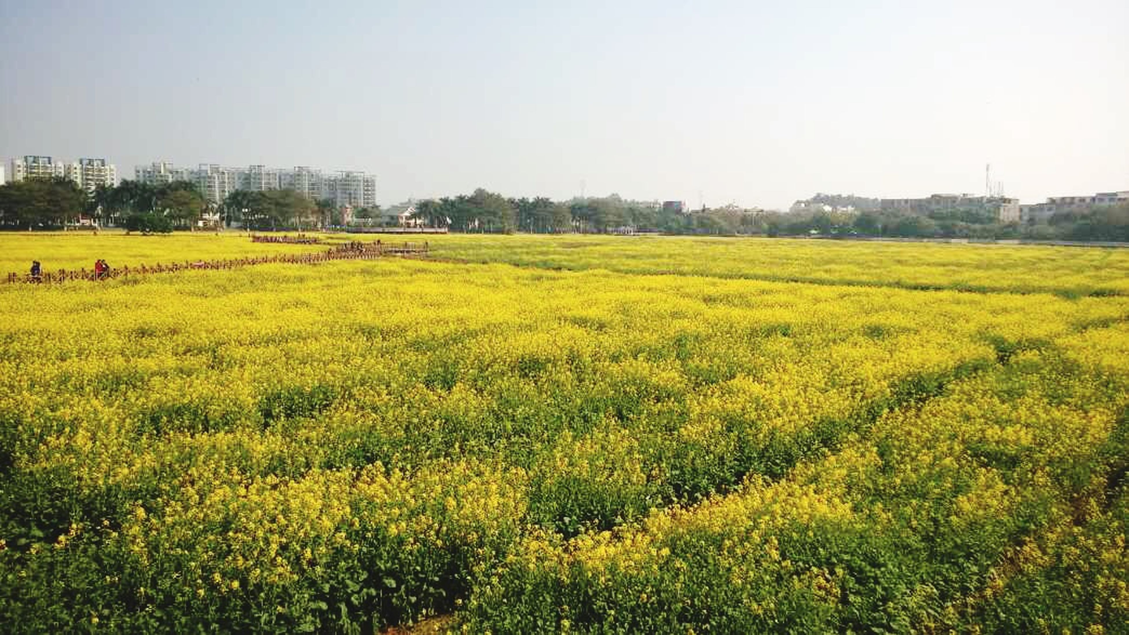 yellow, field, clear sky, growth, flower, beauty in nature, landscape, copy space, agriculture, tranquil scene, nature, rural scene, tranquility, freshness, scenics, grass, green color, plant, farm, tree