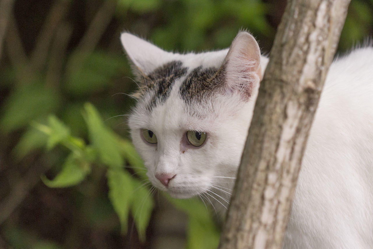 domestic cat, mammal, feline, animal themes, one animal, domestic animals, pets, portrait, no people, looking at camera, day, outdoors, tree, close-up, nature