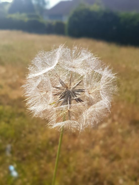 Close-up Nature Plant Focus On Foreground Field Fragility Beauty In Nature Besteyemphoto Flower Head Poole, Dorset Dandelion Beauty In Nature Taking Photos Check This Out On A Journey