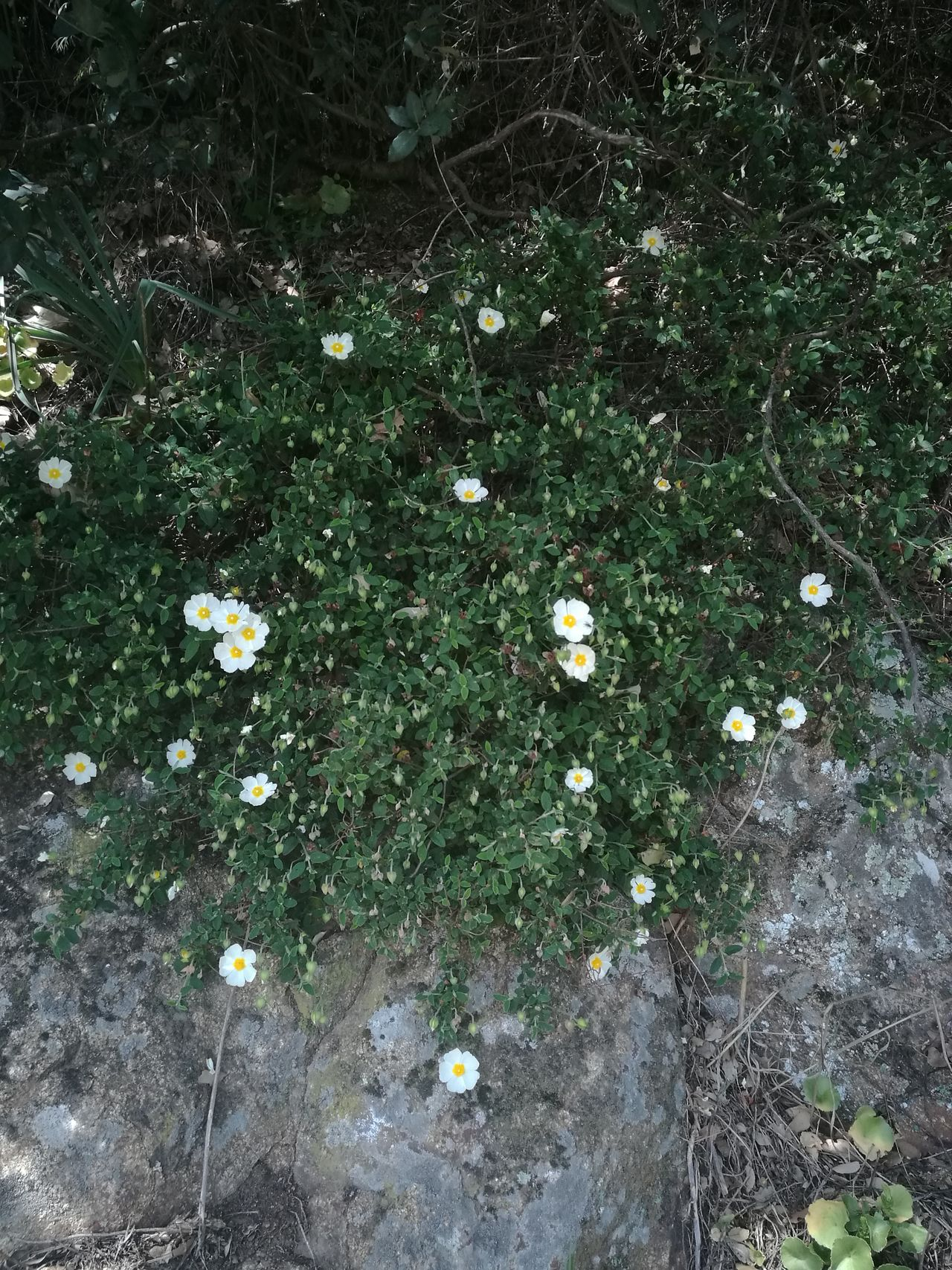 Sardinia Italy Details Flowers Rock Flowery Flower Colors Nature