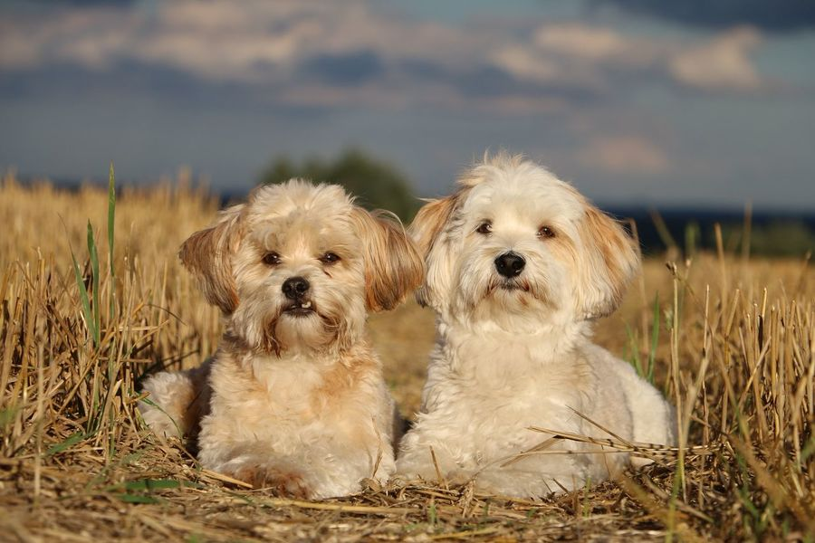 two litte dogs are lying in the stubble field Animal Themes Day Dog Domestic Animals Havanese Havaneser Liegender Hund Maltese Malteser Mammal Mixed Nature No People Outdoors Pair Pets Sky Sommer Stoppelfeld Stubblefield Summer Sunny Day Togetherness