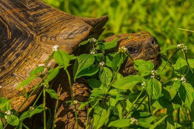 Nikon Galapagos Giant Tortoise Tortoise Wildlife Giant tortoise in Galápagos.