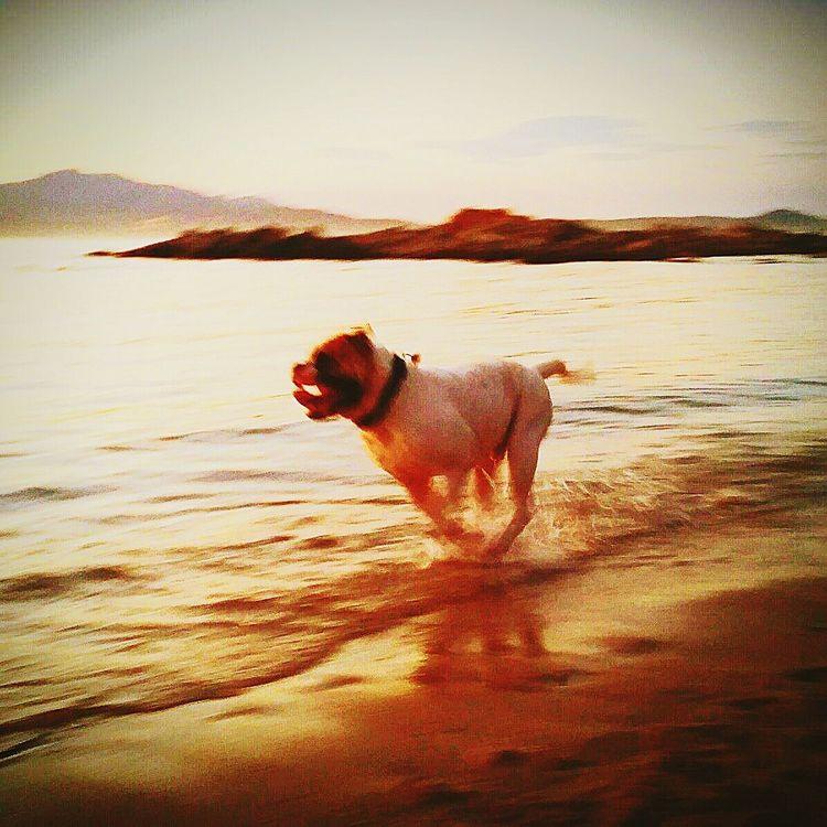 American Bulldog! I Love My Dog!  Gastone Io E Il Mio Cane!