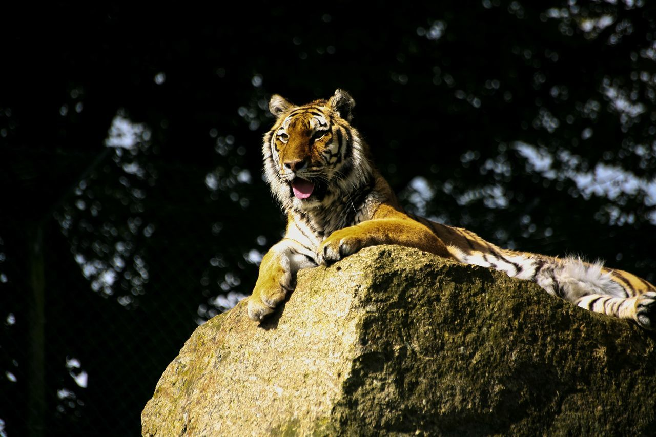 Beautiful stock photos of tiger, Animal Themes, Animal Wildlife, Animals In The Wild, Big Cat
