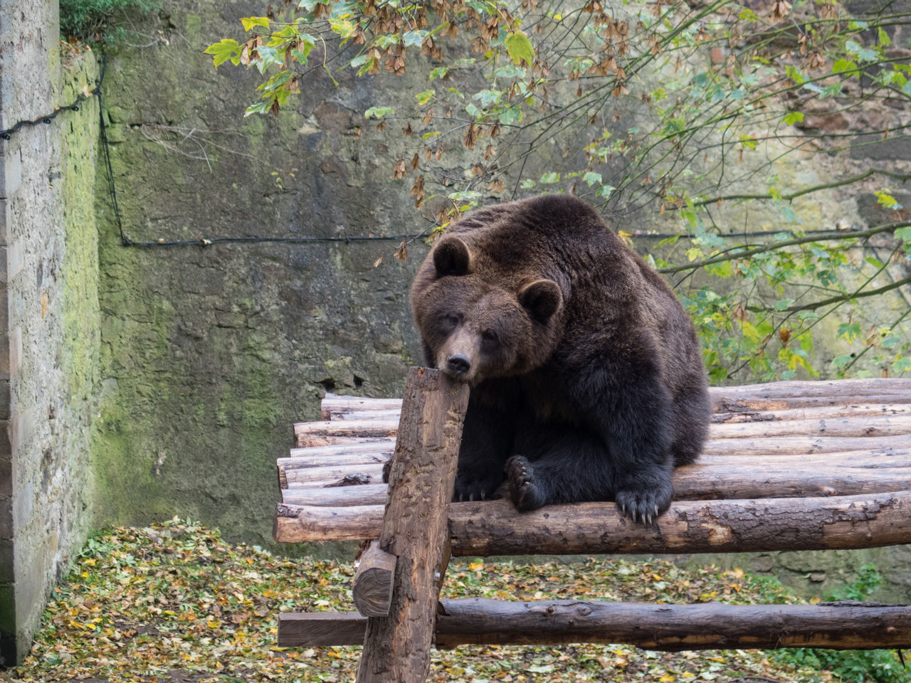 bear, animal wildlife, one animal, wood - material, grizzly bear, animals in the wild, outdoors, mammal, day, animal themes, no people, nature, tree