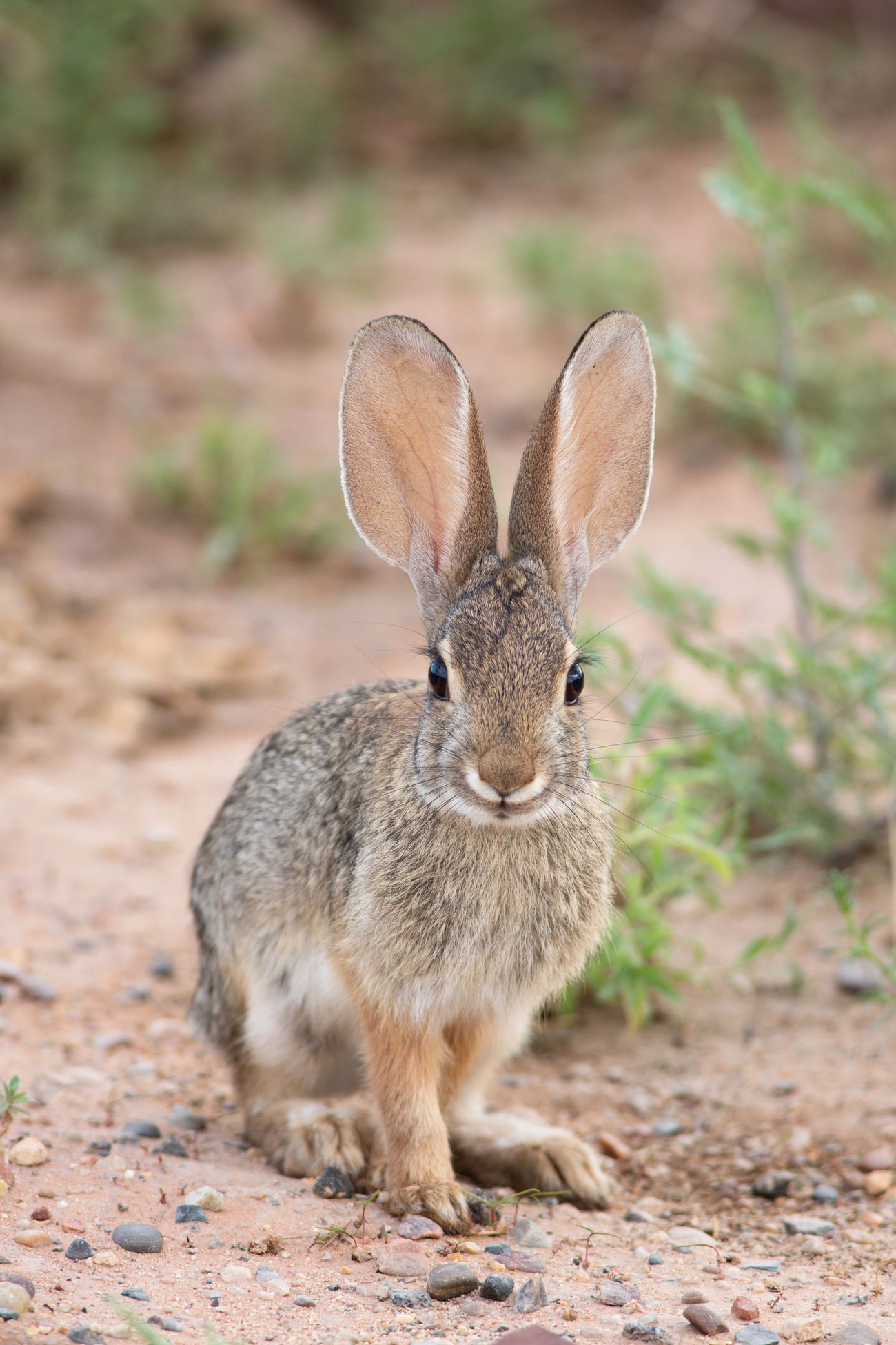 Cottontail Rabbit Ears Desert Life Cute Critters Animals Bunny Love Bunnies Animals In The Wild Rabbits Rabbit In My Yard Rabbit Faces Bunny Ears  Bunny Rabbit Nature Canon 5d Mark Lll I Hope My Pictures Touch Your Hart Eye4photography  EyeEm Nature Lover Bestoftheday Wildlife Wildlife Photography Faces Of EyeEm Brown Brown Eyes Earth Tones