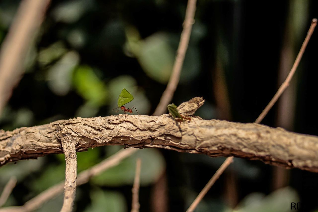 animal themes, animals in the wild, one animal, animal wildlife, focus on foreground, no people, day, nature, insect, close-up, perching, outdoors, branch, reptile, grasshopper, beauty in nature