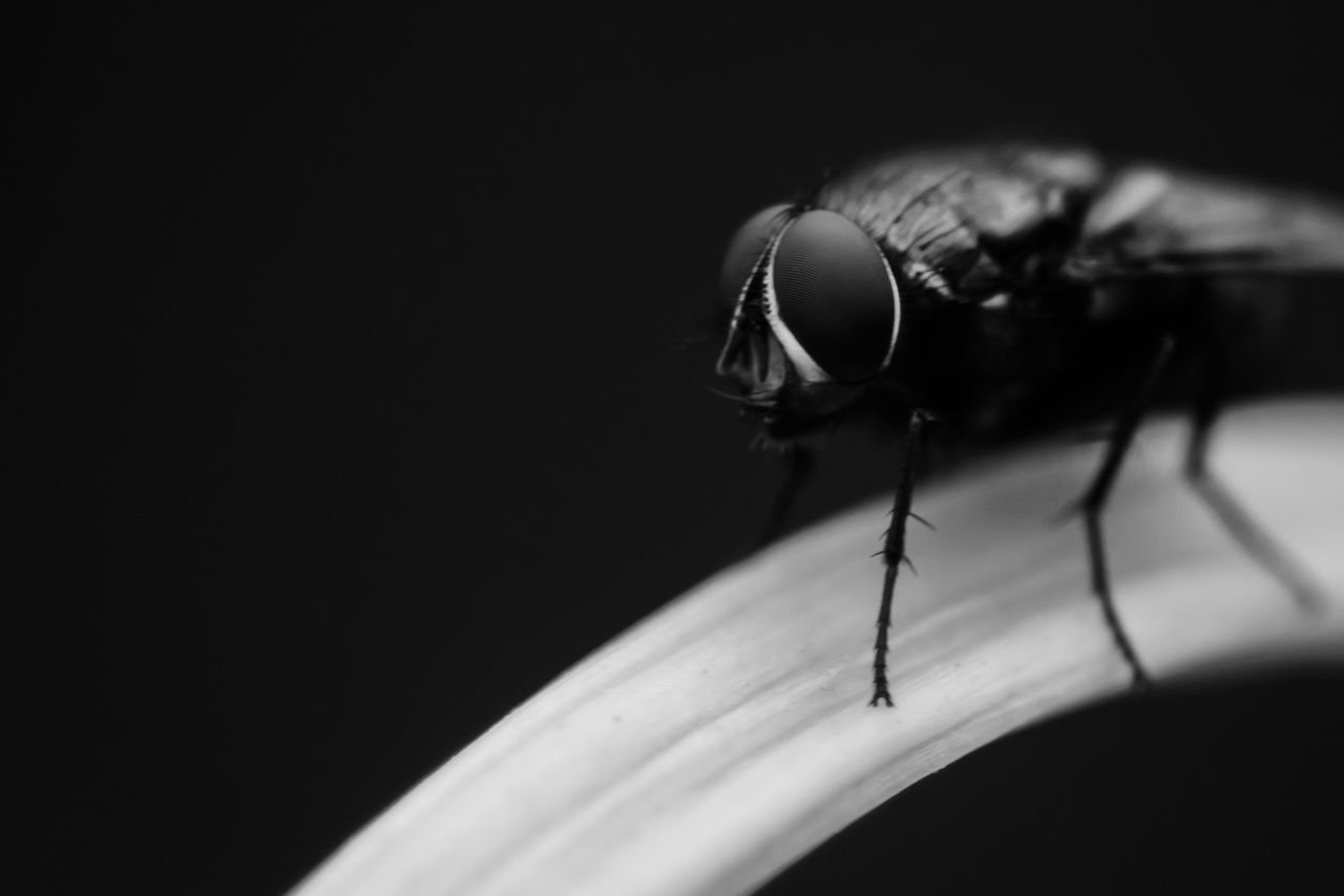 Beelzebub Eyes Monochrome Insects  The Darkness Within Macro Beauty Blackandwhite Silence Dark Deceptively Simple Black & White Our Best Pics Light And Shadow Alone Leaf Minimalism Black And White Fine Art Macro Animals Capture The Moment Cool Fly Bugs Close-up