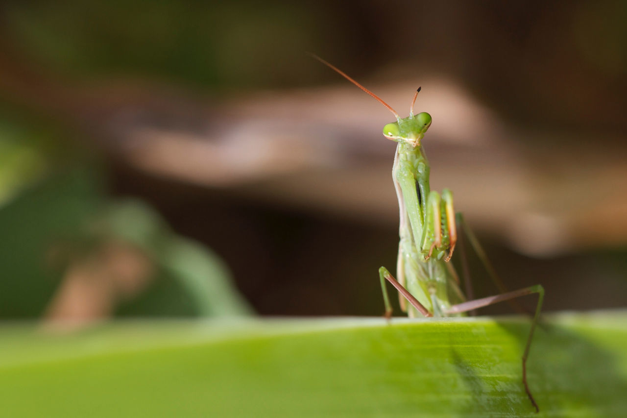 Beauty In Nature Fragility Green Green Color Insect Insects  Mante Religieuse Nature No People Praying Mantis