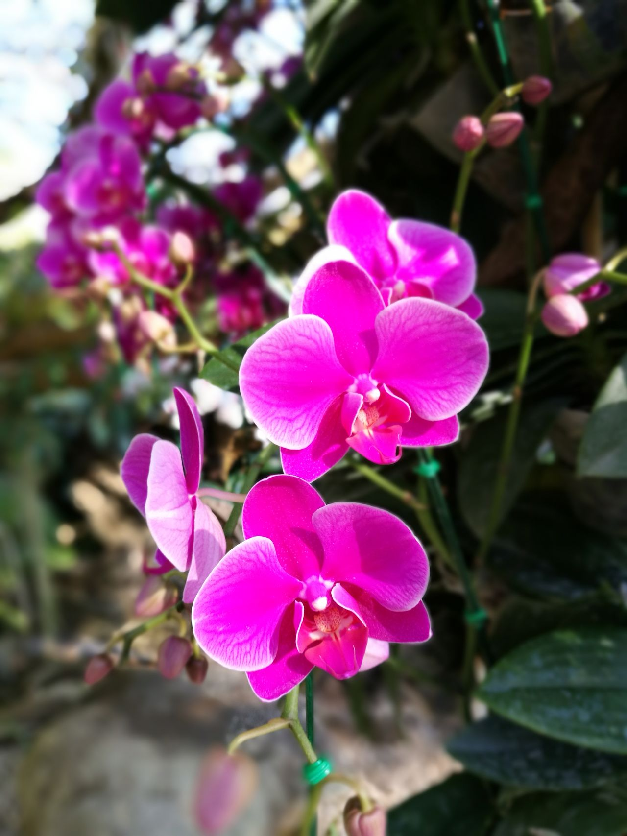 Purple exotic orchids Flower Nature Growth Orchid Beauty In Nature Pink Color Purple Plant Petal Freshness Outdoors Day Exotic Exotic Flowers Garden Morning Light Thailand Yellow Focus On Foreground Plant Close-up Flower Head