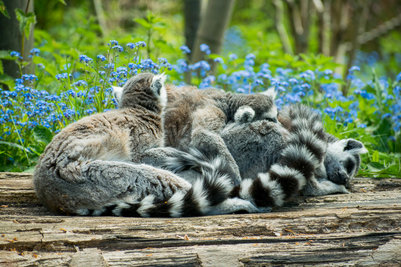 Animal Themes Nature Outdoors Lying Down Mammal Lemurs Lemur No People Close-up Cuddle Cuddleparty Cute Wood - Material Tree Flowers