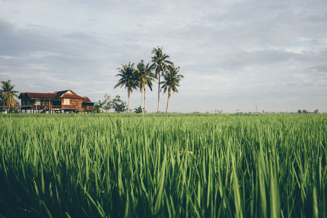 Green rice fields in Sungai Besar - well known as one of the major rice supplier in Malaysia. Coconut Trees Culture Grass House Paddy Field Rice Rural Scene Sunrise Tradition