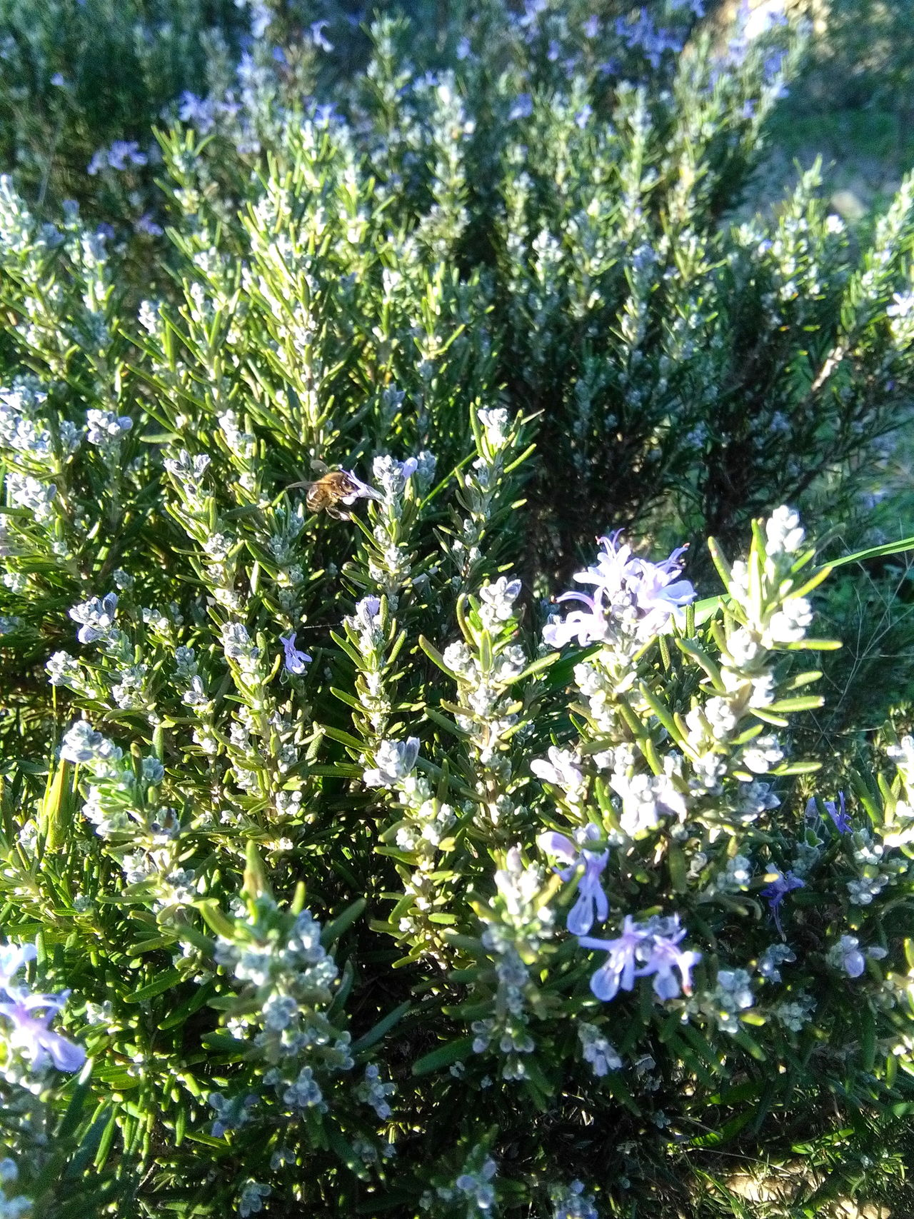Rosemary blossom with visiting bees What A Wonderful World Saturdaysong_eyeemchallenge Life Is Magical
