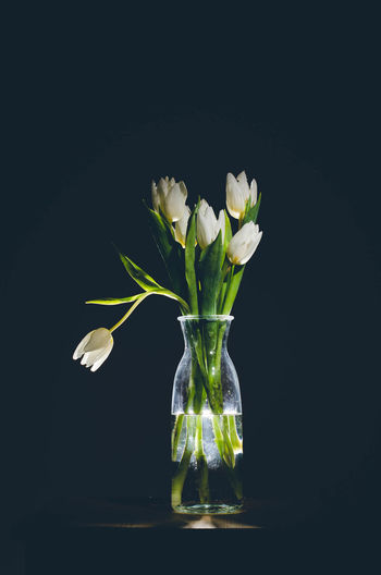 Tulips🌷 Tulips Tulipmania Black Background Studio Shot Leaf Freshness Healthy Eating Beauty Nature Healthy Lifestyle Close-up No People Gray Backgroundflower Flower Head Water Beauty In Nature Tulpen