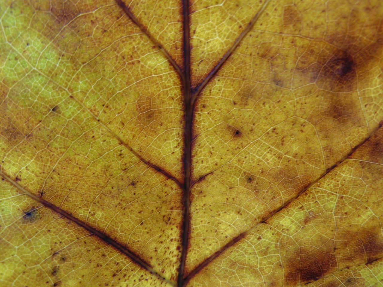 leaf, full frame, backgrounds, textured, pattern, nature, close-up, no people, tree, day, branch, science, outdoors, fragility